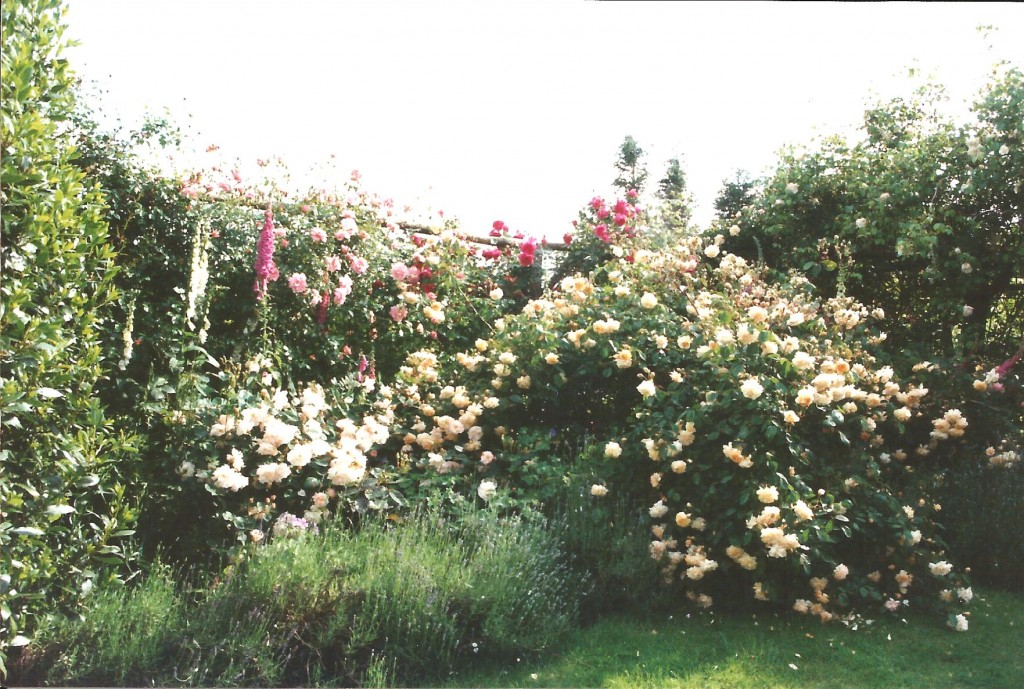 Garden 2000 Buff Beauty