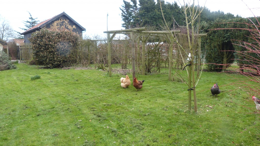 Hens enjoying scratching around in the cut grass