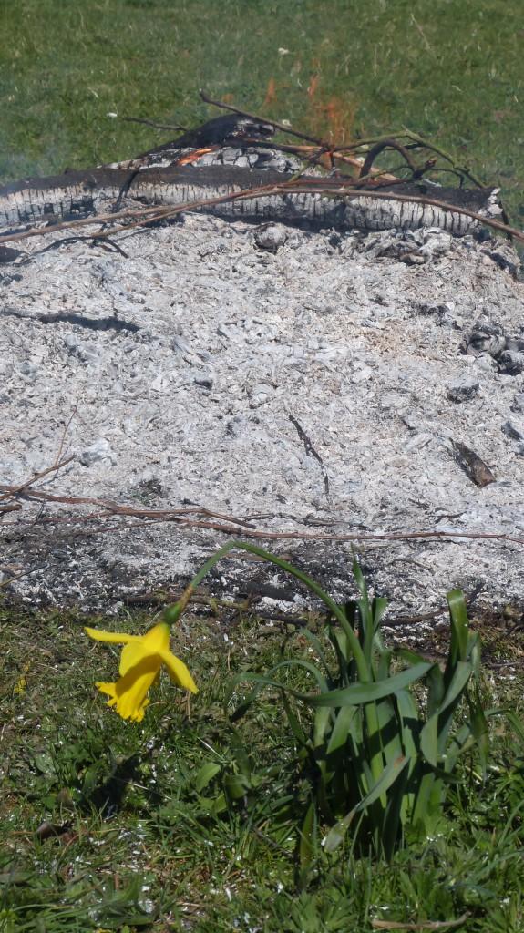 A tenacious little daffodil