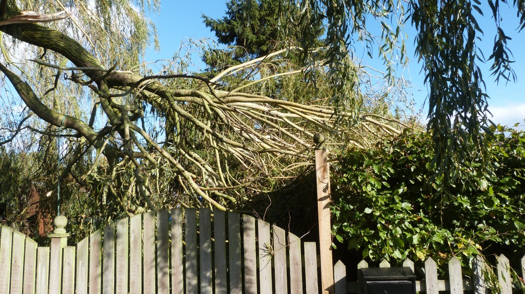Will this herald the demise of this willow?