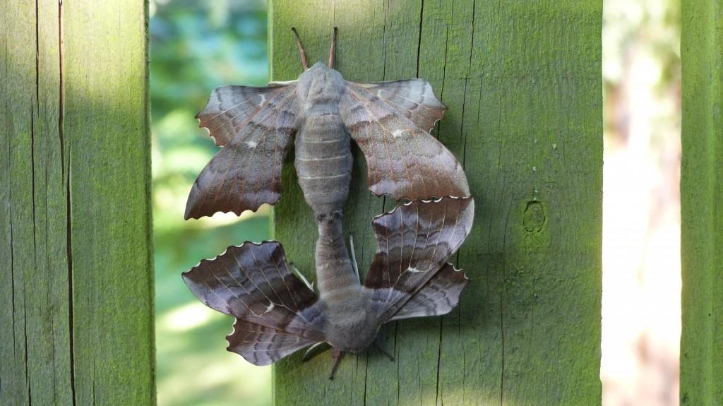 Amorous moths